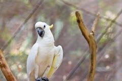 Cockatoo amarillo Foto de archivo libre de regalías