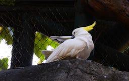 Cockatoo Amarillo-con cresta fotografía de archivo libre de regalías