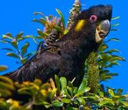 Cockatoo amarillo del negro de la cola Fotos de archivo libres de regalías