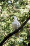 Cockatoo auf einem Baum Stockbilder