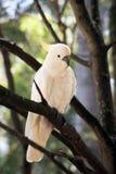 Cockatoo auf einem Baum -5 Lizenzfreies Stockfoto