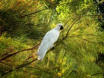 Cockatoo in Australia. Cockatoo bird resting on a tree in Australia royalty free stock photos