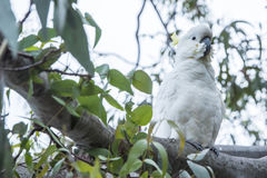 Cockatoo, Australia Stock Photos