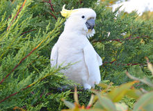 Cockatoo. Australian sulfur-crested cockatoo in a tree.  Photo taken February 2014 Royalty Free Stock Image