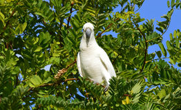 Cockatoo. Australian sulfur-crested cockatoo in a tree.  Photo taken February 2014 Royalty Free Stock Photography