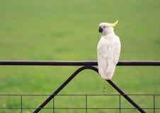Cockatoo australiano imagem de stock royalty free