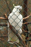 Cockatoo behind bars Stock Photography