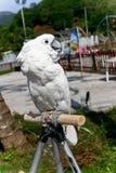 Cockatoo bianco Fotografia Stock