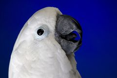 Cockatoo bianco dell'ombrello Fotografia Stock