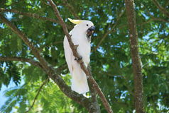 Cockatoo bird. Eating a peanut in a tree Royalty Free Stock Image