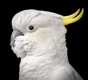 Cockatoo Bird Isolated. Stunning portrait of a cockatoo parrot bird against a black background Stock Photo