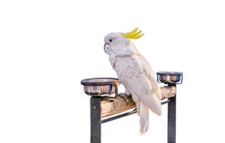 Cockatoo bird on the log on  background Royalty Free Stock Photo