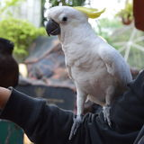Cockatoo bird perching on hand Royalty Free Stock Images