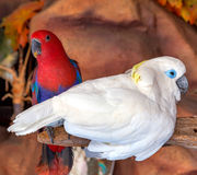 Cockatoo bird Stock Images