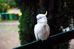 Lovely cute cockatoo bird with white feather and yellow gold head stock photos