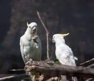 Cockatoo blanc Image stock