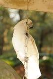 Cockatoo blanco fotografía de archivo