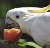 Cockatoo blanco Foto de archivo