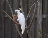 Cockatoo blanco Foto de archivo libre de regalías