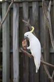 Cockatoo blanco Fotos de archivo libres de regalías