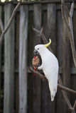 Cockatoo blanco Imágenes de archivo libres de regalías