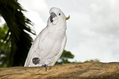Cockatoo on a branch. Royalty Free Stock Photography