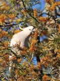 Cockatoo branco Imagem de Stock