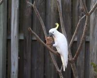 Cockatoo branco Foto de Stock