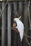 Cockatoo branco Imagens de Stock Royalty Free