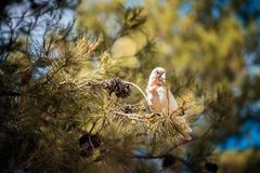 Cockatoo branco australiano Imagem de Stock Royalty Free