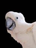 Cockatoo branco isolado Imagens de Stock
