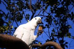 Cockatoo - cacatua galerita. A wild sulphur crested cockatoo on a branch. taken in sydney botanical gardens, australia royalty free stock photos