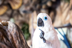 Cockatoo, Cacatua galerita Royalty Free Stock Photo