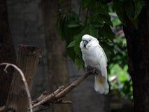 Cockatoo (Cacatua moluccensis) Stock Photography