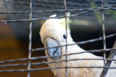 Cockatoo in cage Royalty Free Stock Photo