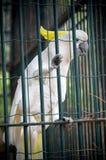Cockatoo in a cage. A cockatoo named Koki from Brijuni Islands National Park in Croatia Royalty Free Stock Photo