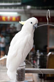 Cockatoo Chained to Dowel Stock Image
