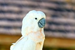 Cockatoo Close Up Stock Image