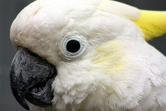 Cockatoo Close-Up. Close-up of the white head, yellow crest and black beak and eye of a white cockatoo on gray background royalty free stock image