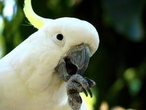 Cockatoo com crista do enxôfre Foto de Stock Royalty Free
