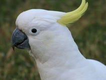 Cockatoo com crista do enxôfre Imagem de Stock