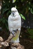 Cockatoo com crista do enxôfre na floresta húmida fotos de stock