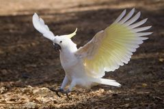 Cockatoo coming in to Land. Close up of a sulfur crested cockatoo as it comes in to land. Melbourne, Australia stock image