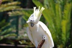 Cockatoo con cresta del azufre imagen de archivo