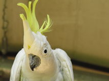 Cockatoo con cresta del sulfuro Foto de archivo libre de regalías