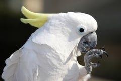 Cockatoo con cresta del sulfuro Fotografía de archivo