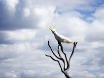Cockatoo con cresta del sulfuro Fotos de archivo