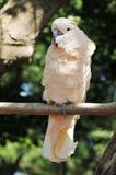 Cockatoo con cresta encaramado en una ramificación foto de archivo libre de regalías