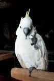 Cockatoo crêté blanc images libres de droits