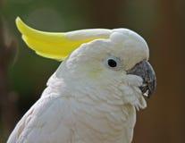Cockatoo crêté de soufre images libres de droits